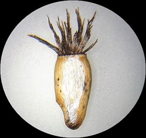 Centaurea cyanus_Makro